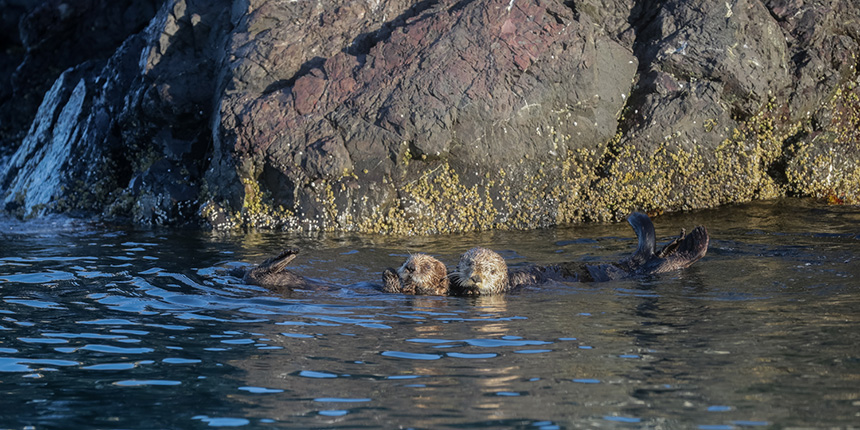 Kachemak Bay Adventures - Alan's Water Taxi - St. Augustine Kayak & Tours - Discover sea otters in Kachemak Bay while kayaking or in transit to your adventure!